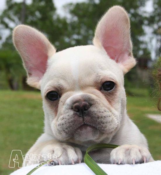 Aereo Privato Cani : Vendita cucciolo bouledogue da privato a trieste cani