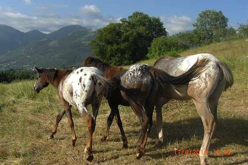 Vendita da privato a cavalli appaloosa 28 03 2013 for Cavalli bolzano