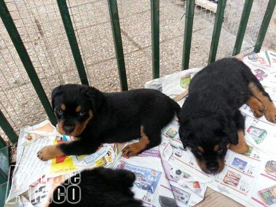 Vendita Rottweiler Da Privato A Como Cuccioli Di Rottweiler Figli Di