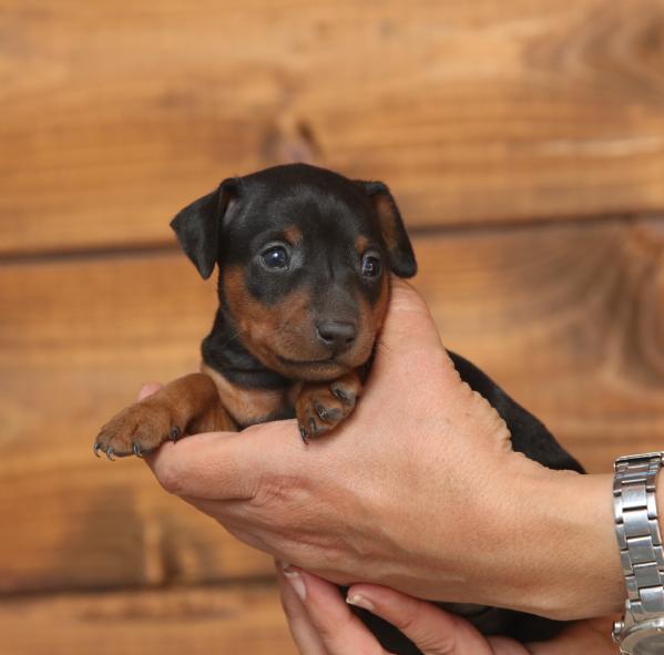Vendita cucciolo pinscher da privato a roma pinscher nano for Cerco moto gratis in regalo