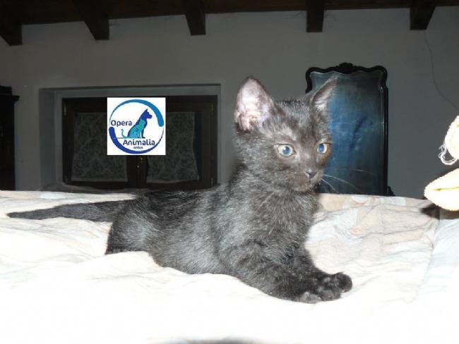Regalo Cucciolo Europeo Da Associazione Animali A Milano Cuccioli Di
