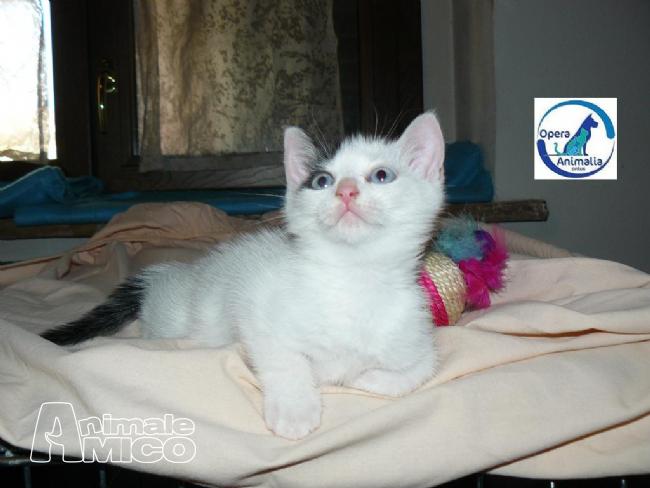 Offro in regalo cucciolo europeo da associazione animali a for Cerco divano in regalo milano