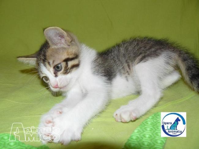 Offro in regalo cucciolo europeo da associazione animali a for Cerco camera da letto in regalo milano