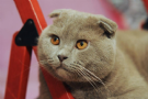maschio scottish fold da monta