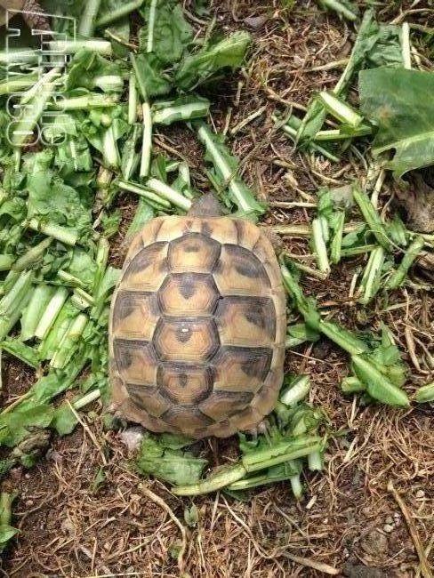 Vendita da privato a lc tartarughe da terra hermanni for Cerco acquario per tartarughe