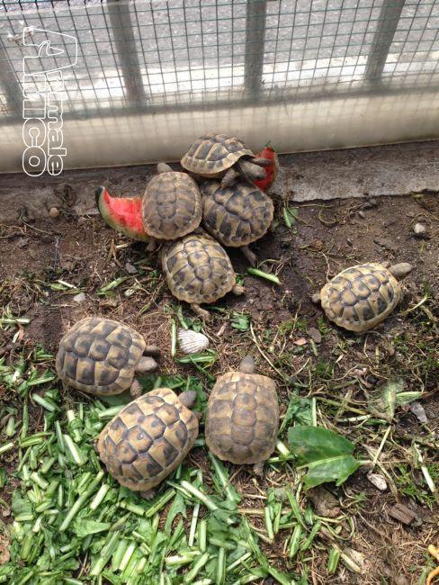 Vendita testudo hermanni da privato a lecco rettili for Vasca tartarughe vendita