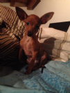 pinscher toy femmina