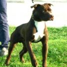 Vendita american pit bull red nose