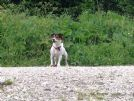 bolt speldido jack russell tricolore