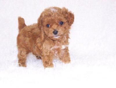 Vendita cucciolo barboncino da privato a bologna cani for Barboncino nano toy