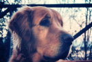 Accoppiamento golden retriever per accoppiamento
