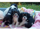 regalo cavalier king 10 mesi con pedigree