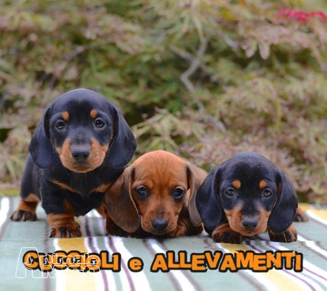 Vendita cucciolo bassotto da allevatore a milano cani for Bassotto nano carattere