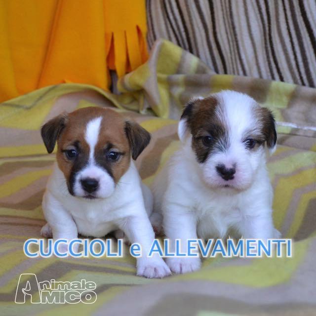 Vendita Cucciolo Jack Russel Da Allevatore A Milano Jack Russel