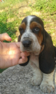 cuccioli di bassethound alta genealogia