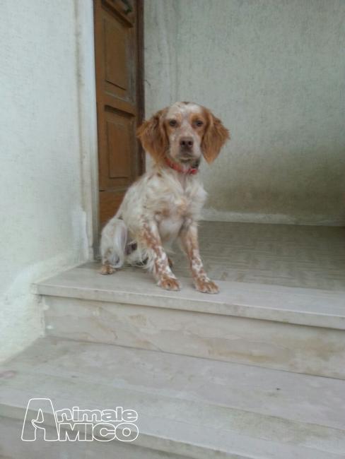 Offro In Regalo Da Associazione Animali A Letizia Cane Da Caccia