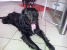nerone, simil border collie cerca casa