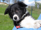 disponibili cuccioli border collie di 2 mesi