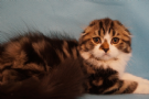 cuccioli scottish fold longhair