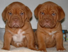 dogue de bordeaux  cucciolo