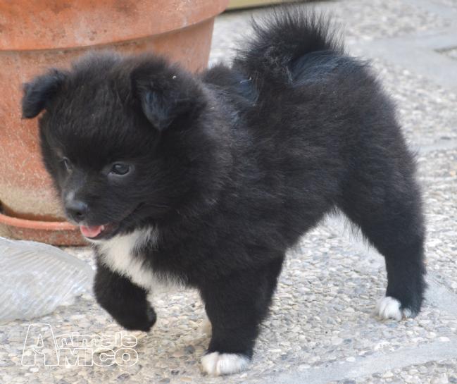 Vendita cucciolo spitz tedesco nano da privato a ferrara for Cane volpino nano
