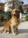 accoppiamento golden retriver