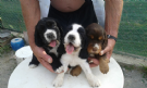 disponibili cuccioli di cocker spaniel