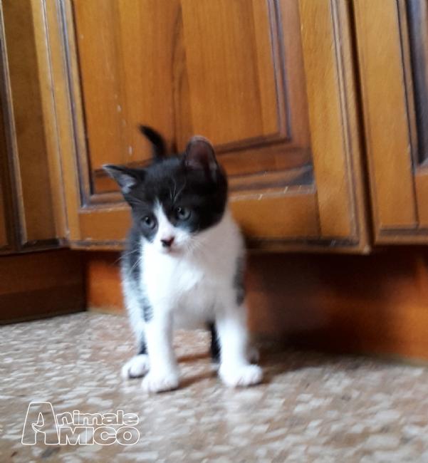 Offro In Regalo cucciolo Europeo da Volontario a Roma gattino bianco e nero