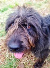 spinone mix bergamasco stupendo