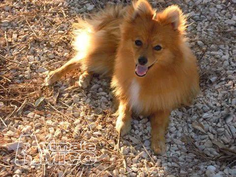 Vendita cucciolo spitz tedesco nano da privato a agrigento for Spitz tedesco nano