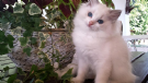 gattini ragdoll disponibili