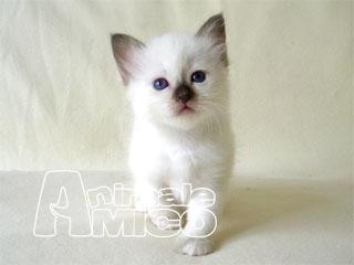 Cerco cucciolo siamese da privato a milano gatti siamese for Cerco camera da letto in regalo milano