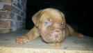 Vendita disponibile cucciolo dogue de bordeaux con pedigree