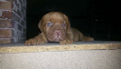 disponibile cucciolo dogue de bordeaux con pedigree
