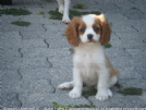 Vendita cavalier king con pedigree