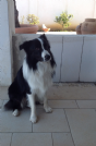 Accoppiamento cerco femmina border collie