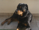 cerco femmina rottweiler adulta( regalo)