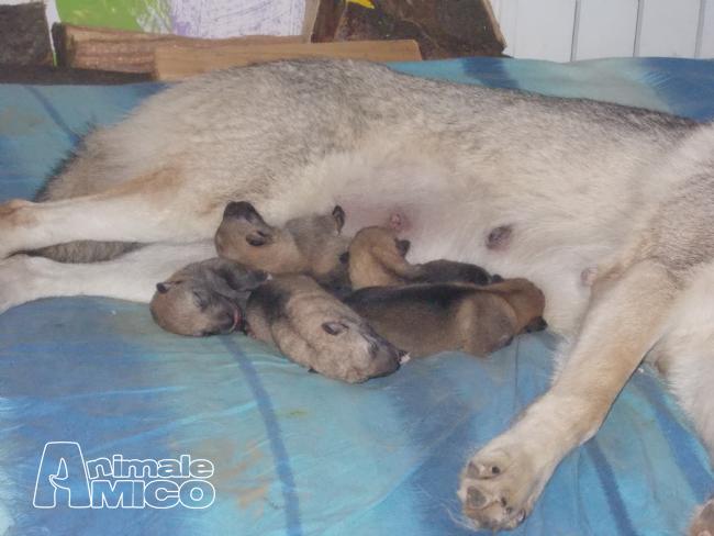 Vendita cucciolo Lupo cecoslovacco da Privato a Torino cuccioli di cane lupo  cecloslovacco