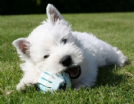 west highland white terrier cucciolata