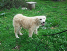 bernie, mix golden-maremmano