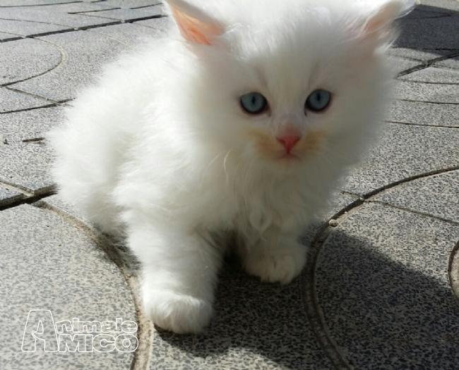 Cuccioli Di Gatto Bianco