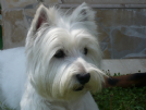 cerco femmina west highland white terrier