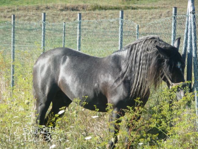 Vendita andaluso da privato a genova animali da cortile for Cavalli in vendita in trentino