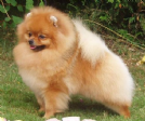 cerco in regalo volpino pomerania