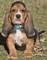 cuccioli di bassethound disponibili