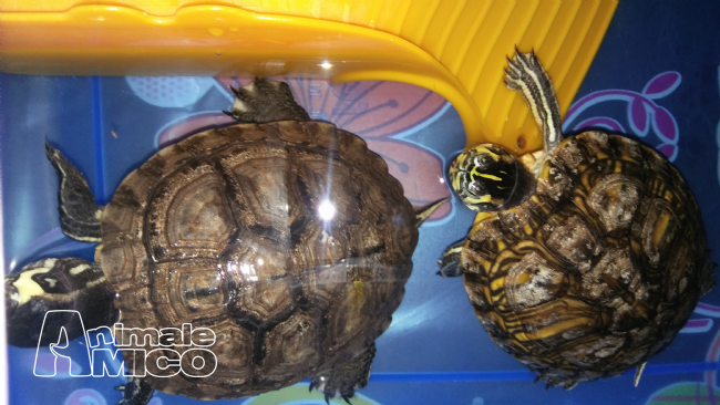 Offro in regalo da privato a mo regalo 2 tartarughe 29 06 2017 for Cerco acquario per tartarughe