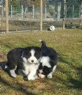 border collie cuccioli