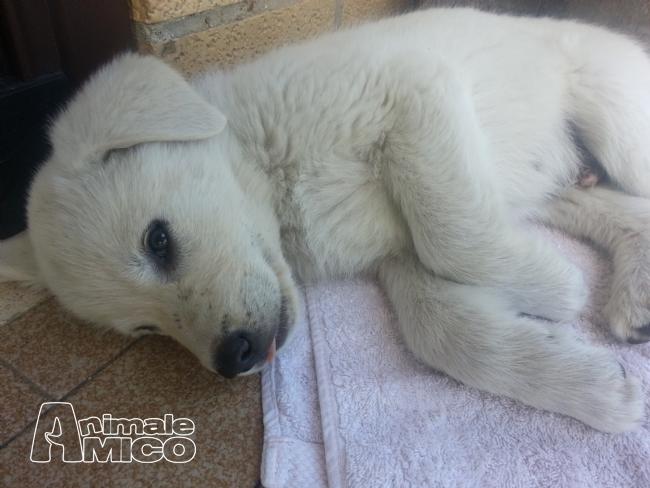 regalo cucciolo pastore maremmano da privato a roma cani