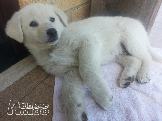 Offro in regalo cucciolo pastore maremmano da privato a for Cerco arredamento casa in regalo