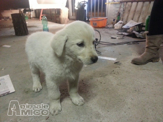 Regalo cucciolo pastore maremmano da privato a roma cani for Cerco arredamento casa in regalo